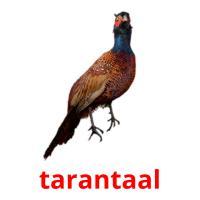 tarantaal picture flashcards
