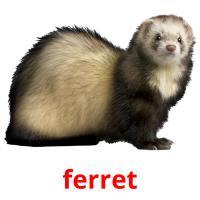 ferret picture flashcards