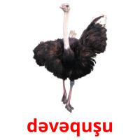 dəvəquşu picture flashcards