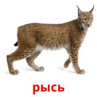 рысь picture flashcards