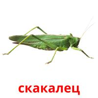 скакалец picture flashcards
