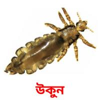 উকুন picture flashcards