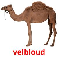 velbloud picture flashcards