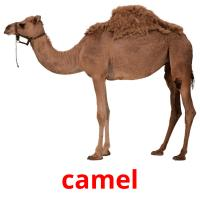 camel picture flashcards