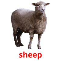sheep picture flashcards