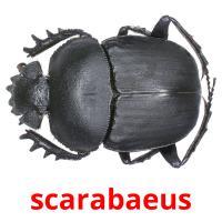 scarabaeus picture flashcards