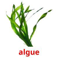 algue picture flashcards