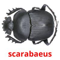 scarabaeus picture flashcards