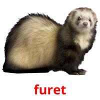furet picture flashcards