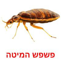 פשפש המיטה picture flashcards