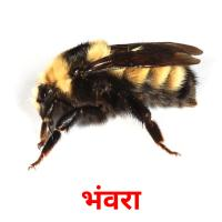 भंवरा picture flashcards