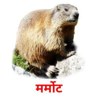 मर्मोट picture flashcards
