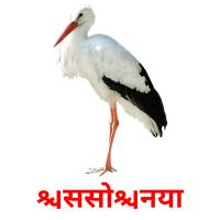 सिसोनिया picture flashcards