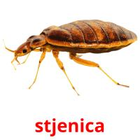stjenica picture flashcards