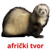 afrički tvor picture flashcards