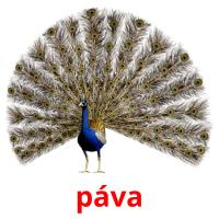 páva picture flashcards