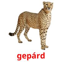 gepárd picture flashcards