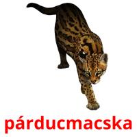 párducmacska picture flashcards