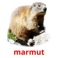 marmut picture flashcards