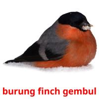 burung finch gembul picture flashcards