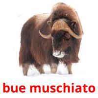 bue muschiato picture flashcards
