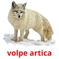 volpe artica picture flashcards