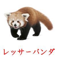 レッサーパンダ picture flashcards