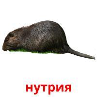 нутрия picture flashcards