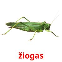 žiogas picture flashcards