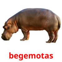 begemotas picture flashcards