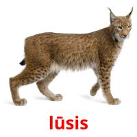 lūsis picture flashcards
