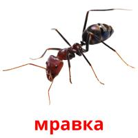 мравка picture flashcards