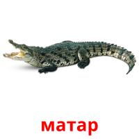 матар picture flashcards