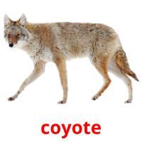 de coyote picture flashcards
