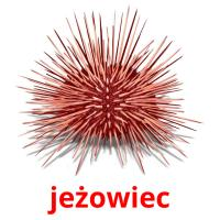 jeżowiec picture flashcards