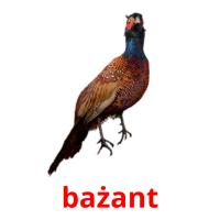 bażant picture flashcards