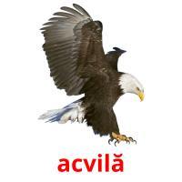 acvilă picture flashcards