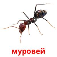 муровей picture flashcards