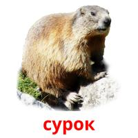 сурок picture flashcards