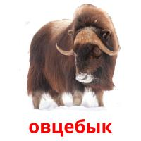 овцебык picture flashcards