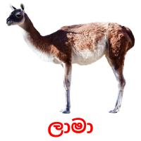 ලාමා picture flashcards