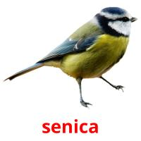 senica picture flashcards