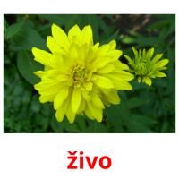 živo picture flashcards