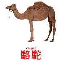 駱駝 picture flashcards